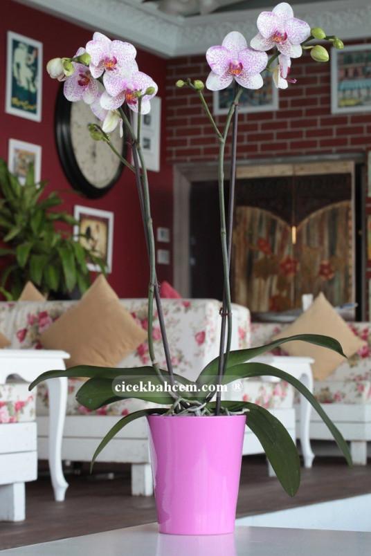Çift Dal Pembe Mix, Fancy Orkide