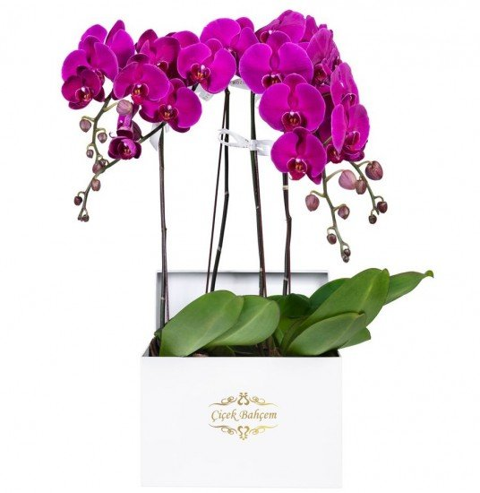 Beyaz Kare Kutuda 4 Dal Pembe Orkide