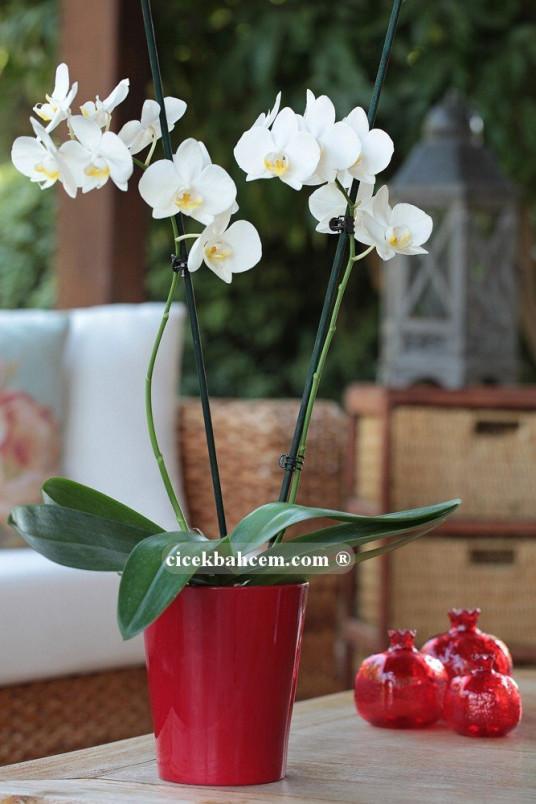 Çift Dal Kar Beyaz, Redness Orkide