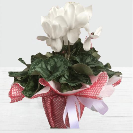 Yaz ve Kış Çiçekli Bitki Siklamen