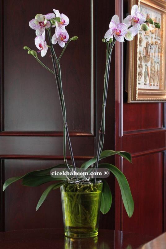 Çift Dal Pembe Mix, Cherry Orkide