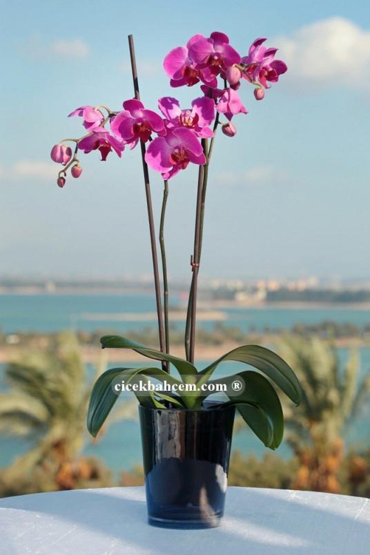Çift Dal Mor,Nighty Orkide