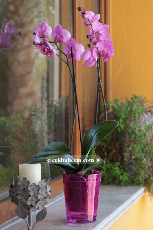 Çift Dal Pembe, Hush Orkide