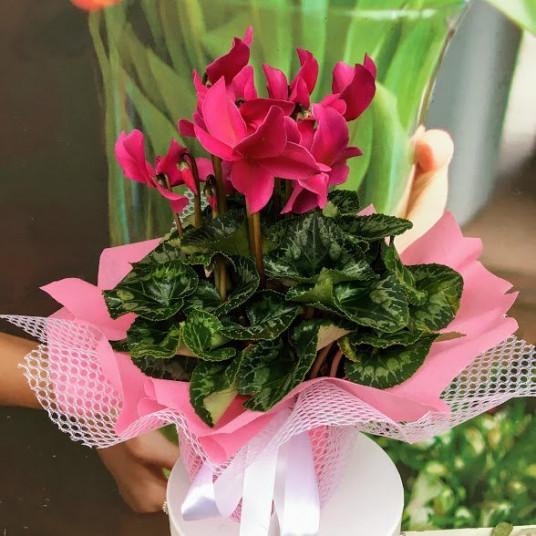 Siklamen Yaz ve Kış Çiçeği SAK584