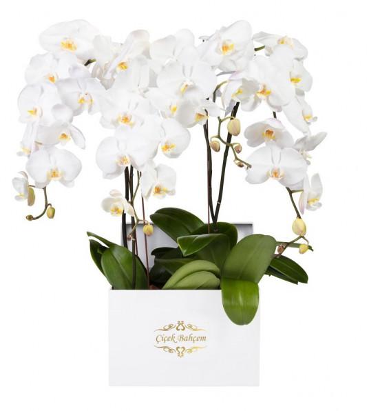 Beyaz Kare Kutuda 4 Dal Beyaz Orkide