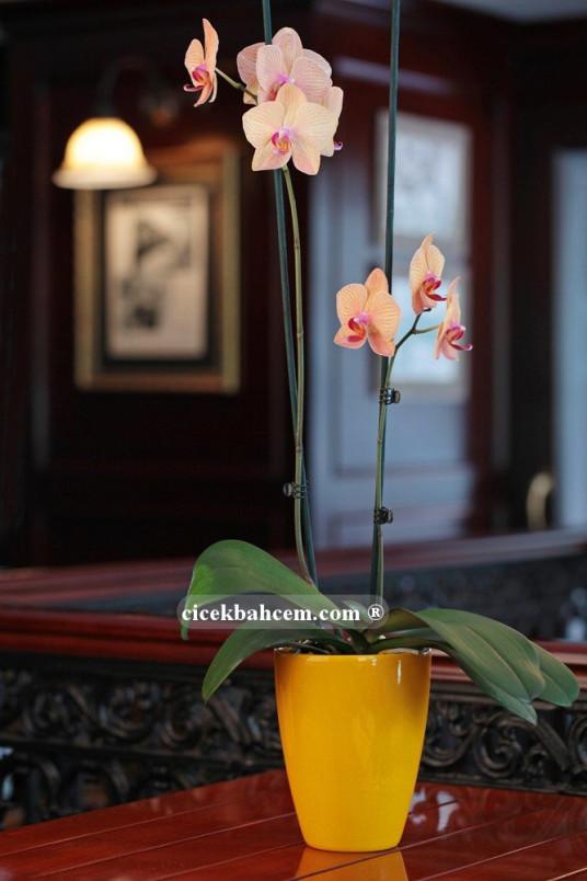 Çift dal Turuncu, Vitalis Orkide