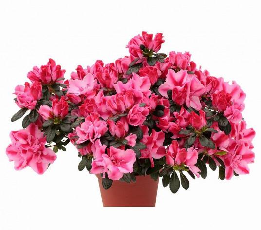 Kırçıllı AÇELYA Saksı Çiçeği Siparişi