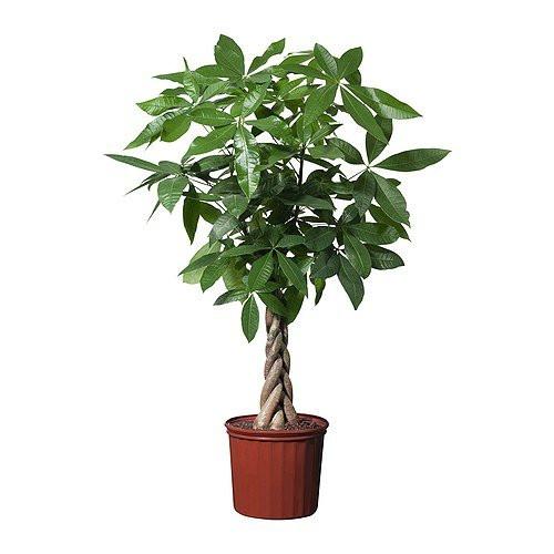 Para Ağacı Pakira Saksı Çiçeği