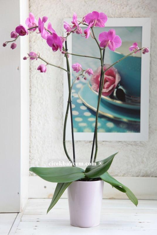 Çift dal Pembe, Janet Orkide