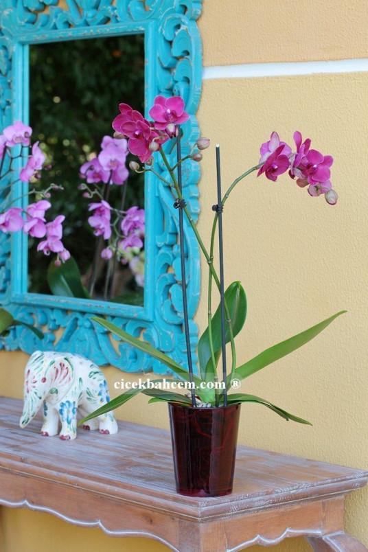 Çift Dal Mor, Exotic Orkide