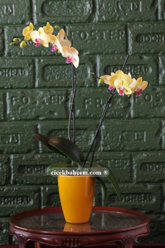 Çift Dal Sarı, Sun Set Orkide