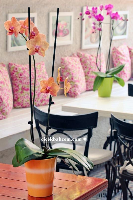 Çift Dal Turuncu, Topaz Orkide