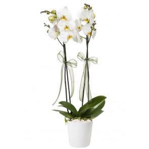 2'li Orkide Fırsatı!