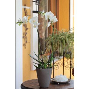 Çift Dal Kar Beyaz Orkide