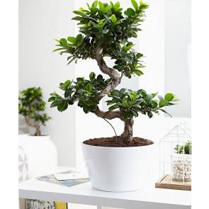 Ficus Microcarpa Bonsai Saksı Çiçeği