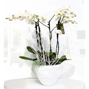 İkili Beyaz Seramik Vazoda Orkide