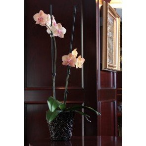 Çift Dal Somon, Peachy Orkide