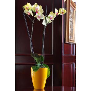 Çift Dal Sarı, Lime Orkide