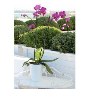 Çift Dal Mor,Pink Orkide