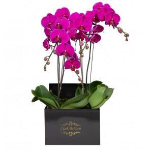 Kare Siyah Kutuda 4 Dal Pembe Orkide
